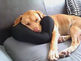 mo is no dummy the couch is the most fortable seat in the house especially when his favorite neck pillow is available