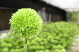 dianthus green ball sweet william