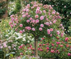 Buy Live Plants India U2013 Plantslive U2013 Online NurseryFragrant Rose Plants