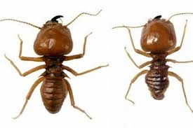 do termites eat bamboo flooring pictures