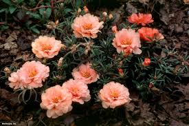 drought and heat tolerant annuals