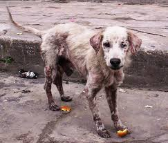 a dog might start out with mange but will then have to be treated for an