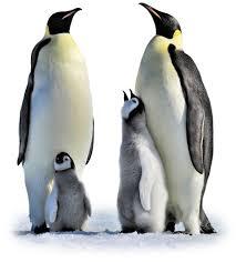 emperor penguin egg. Delighful Penguin Young Emperor Penguin Intended Emperor Penguin Egg