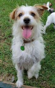 wire haired jack russell terrier. Wire Hair Jack Russell Terrier Haired Throughout