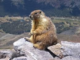 Marmot Size Chart Us Marmot Wikipedia