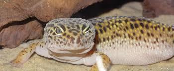 Leopard Gecko Morph Chart Morph Calculators A V Geckos Uk