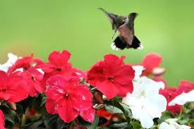 hummingbird garden.  Garden Hummingbird At Flowers Inside Garden U