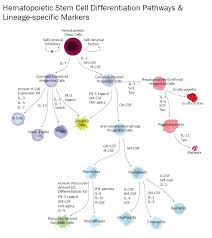 Hematopoietic Stem Cell Chart Hematopoietic Stem Cells Lineage Specific Markers R D Systems