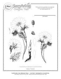 Coloring Page Adonis Vernalis Poisonous Beauty Surviving The