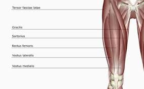 Upper Leg Muscle Chart Anatomy Of The Quadriceps Muscles