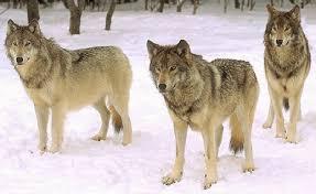 """Résultat de recherche d'images pour """"images gif loups"""""""