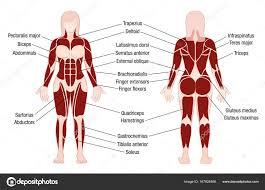 Woman Anatomy Chart Muscles Chart Description Muscular Body Woman Stock Vector