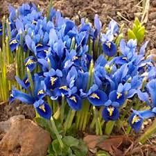 garden bulbs. Rock Garden Flower Bulb Mixed Collection (55 Pack) Bulbs