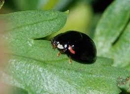 黒い てんとう 虫