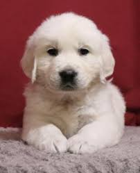 white golden retriever puppies for sale. Plain Puppies Sawyer  Golden Retriever English Cream Puppy For Sale In Millersburg OH In White Puppies For