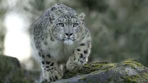 Snow Leopard Wallpaper Data Src ...