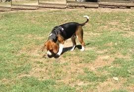 Risultati immagini per beagle femmina adulta