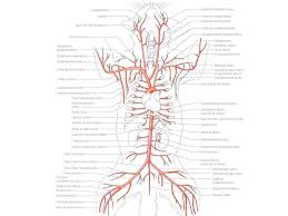 Cat Blood Vessels Worksheet - circulatory system worksheet with ...