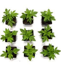 Cannabis Plant Growth Chart The Life Cycle Of Marijuana Plants I Love Growing Marijuana
