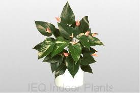 anthurium lady jane an excellent indoor plants brisbane office plants