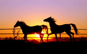 wild horses sunset. Contemporary Horses Horses In Sunset And Wild Sunset H