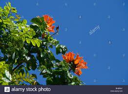 orange flowers of the african tulip tree kauai hi