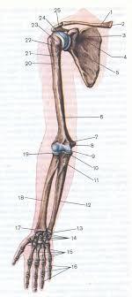 Реферат Остеомиелит верхних конечностей Рефераты на репетирем ру Кости верхней конечности