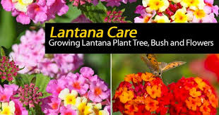 lantana plant care