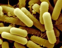 Полезные бактерии Роль и значение бактерий в жизни человека Фото бифидобактерии