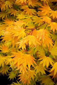Small Picture 107 best Japanese Maples images on Pinterest Acer palmatum