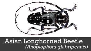 Asian Longhorned Beetle Youtube