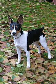 Rat Terrier Age Chart Rat Terrier Dog Breed Information