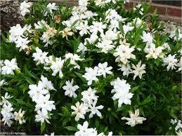 frostproof gardenia is a louisiana super plant photo courtesy of lsu agcenter