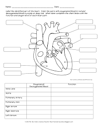 Cardiovascular System Heart Diagram To Color