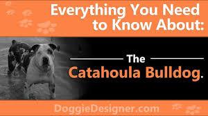 Catahoula Growth Chart Catahoula Leopard Dog And American Bulldog Mix The