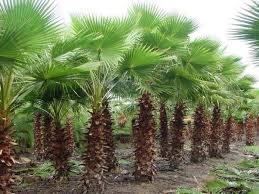 fan palm trees. the california fan palm (native): trees