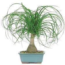 The 11 Most Poisonous Plants For Dogs Rover. Ponytail palm ...