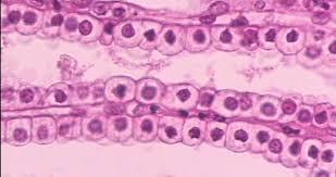 Light Microscope Epithelial Tissue Print Anatomy Epithelial Tissue Hon Flashcards Easy Notecards