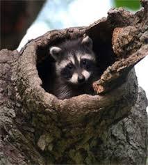 Raccoon Classification Chart Dnr Raccoon