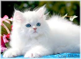 beautiful white cats wallpaper.  Wallpaper White Cat 600x445  By Hulda Stotler To Beautiful Cats Wallpaper C
