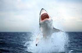 shark back hungry shark world the sharks are back pacific islands  awesome shark in really high quality