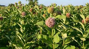 Image result for milkweed plant