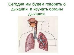 Презентация Органы дыхания гигиена дыхания класс скачать  Сегодня мы будем говорить о дыхании и изучать органы дыхания