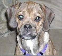 black and brown puggle. Simple Brown Close Up Head Shot  A Brown With Black And White Wrinkly Faced Puggle  Puppy Is Throughout Black And Brown E