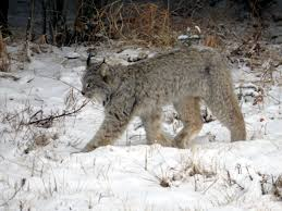 photo essay wildlife in western off track travel lynx near icefields parkway alberta