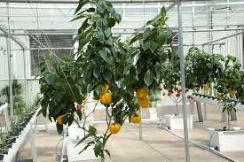 hydroponically growing the best hydroponic tomatoe plants commercially