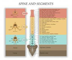 Spine Levels Chart Spinal Cord Injury Diagnosis