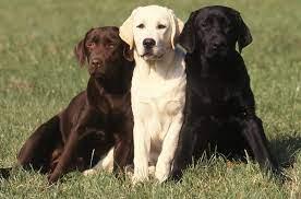 Labrador Dog Wallpapers - Top Free ...