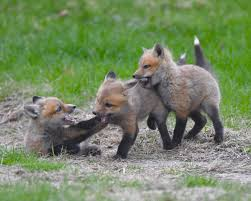 Watch as a mama fox plays with her babies in a Maine yard