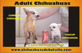 Teacup Chihuahua Size Chart How To Identifity Teacup Chihuahua Dog